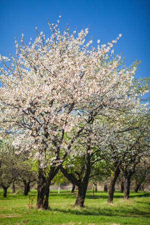 Flowering trees at spring photo