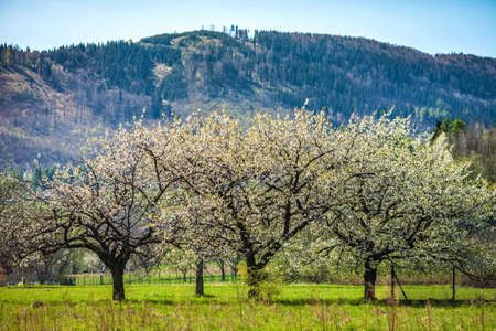 Flowering trees in the background of mountains Stock Photo - 13826706