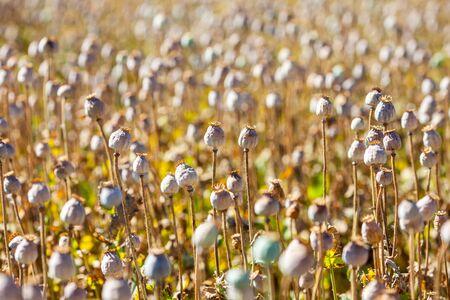 poppy seed capsules photo