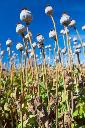 poppy seed capsules on a background of the sky, vertical Stock Photo - 16936232