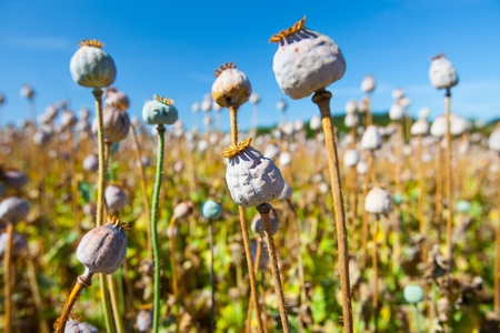 poppy seed capsules on a background of the sky, horizontal photo