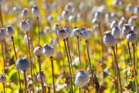 poppy seed capsules Stock Photo - 16936231