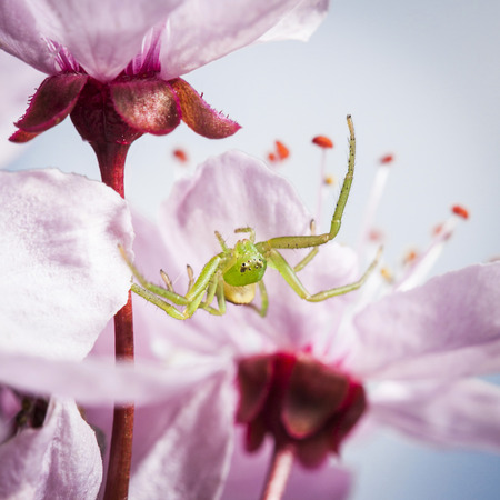 dorsata: The Green Crab Spider, Diaea dorsata