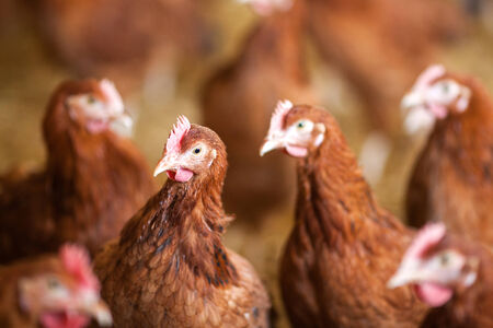 Red chickens on free range farm Stock Photo