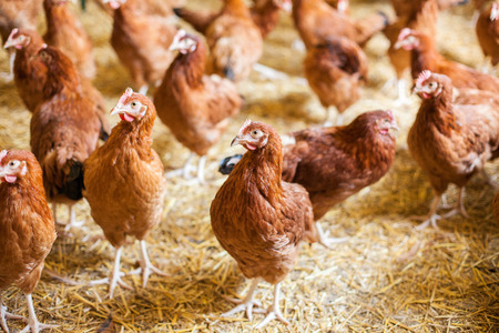 Chickens on free range farm, rossa, free poultry  Stock Photo
