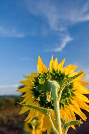 Behide sunflower Stock Photo - 9016888