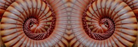 Millipede twin close-up Stock Photo - 14534029
