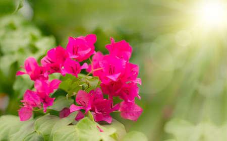 Paper Flower, Bougainvillea glabra super red ,light ,bright photo