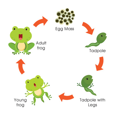 Life cycle of a frog. Vector illustration.