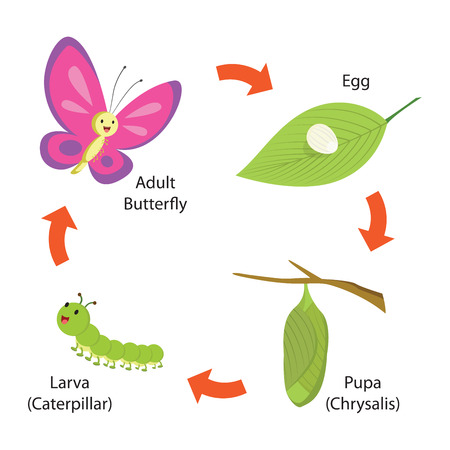 Vector illustration of life cycle of a butterfly