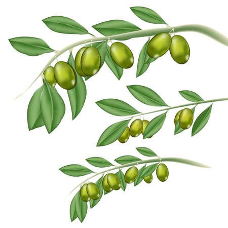 Argan Fruit illustration. Illustration