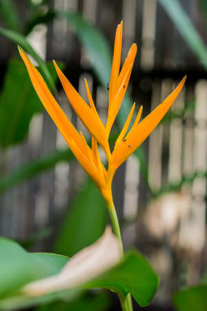 ave del paraiso: una flor de naranja ave del para�so con licencia verde en el jard�n