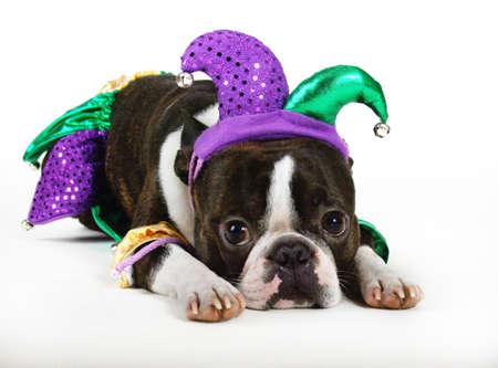 giullare: Jester Dog  Archivio Fotografico