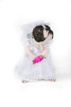 Doggy bride photo
