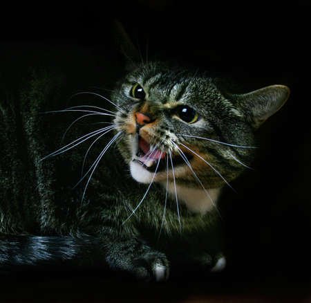 mean: Cat hissing Stock Photo
