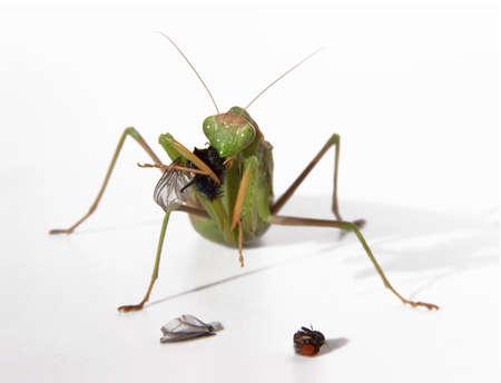 mantid: Praying matis eating a fly Stock Photo