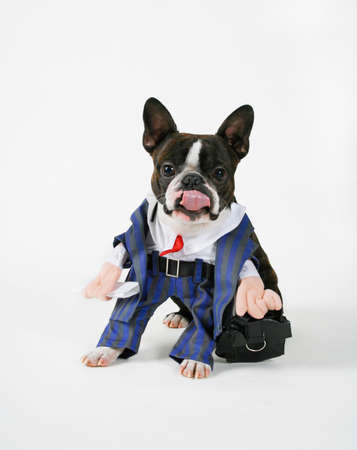 boston terrier: Boston Terrier in a Business Suit Stock Photo