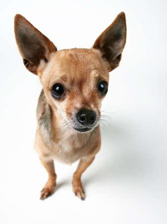 dork: Chihuahua