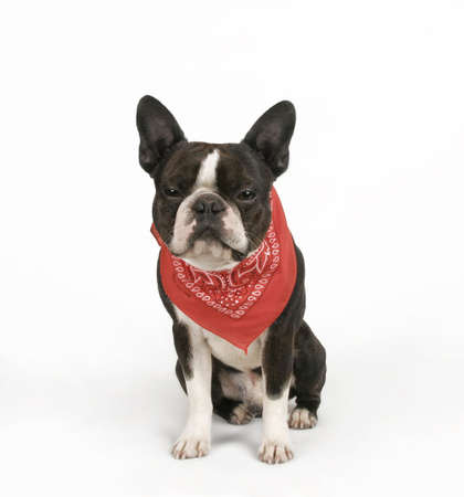 sneer: a boston terrier with a red bandana on