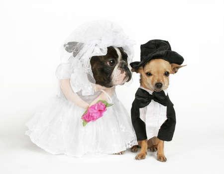 보스톤 테리어와 결혼식 복장에있는 chihuahua