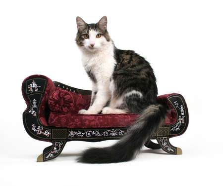 purring: an elegant cat on a small couch