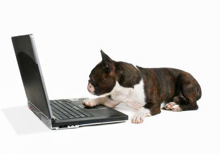 terrier: boston terrier on a laptop Stock Photo