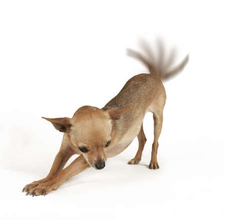furry tail: a tiny chihuahua stretching on a white background