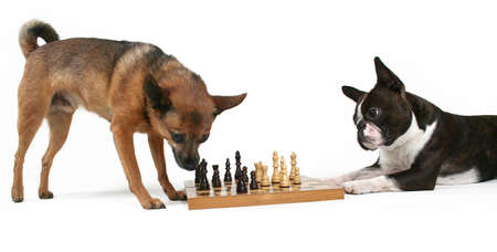 boston terrier: two dogs playing a game of chess