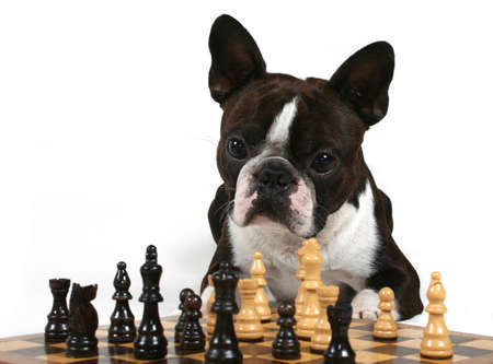 a boston terrier playing a game of chess photo