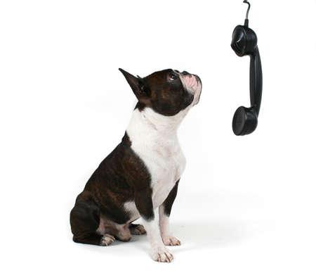 携帯電話で話しているボストン テリア
