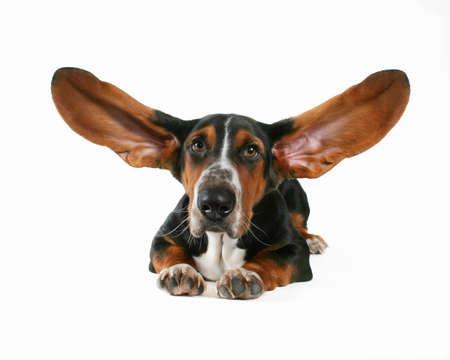 a basset hound with flapping ears photo