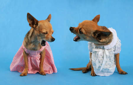 seemingly: two tiny chihuahuas seemingly in an argument