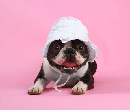 boston terrier: a boston terrier with a  bonnet on