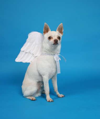 천사의 날개가 달린 작은 치와와
