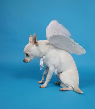 천사의 날개를 가진 작은 치와와
