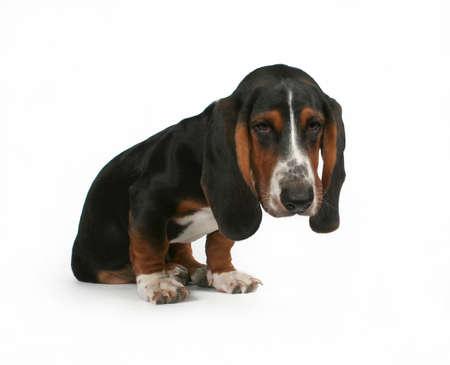 basset: un beb� Basset Hound cachorro mezcla de beagle