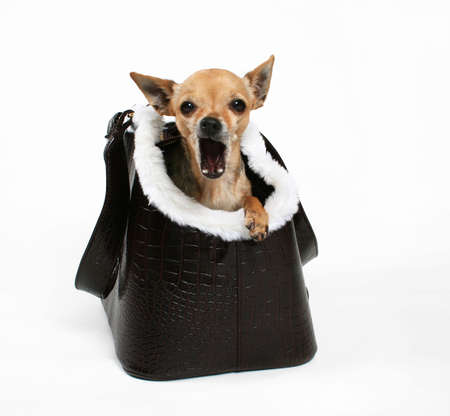 designer bag: a tiny chihuahua in a bag or purse for dogs