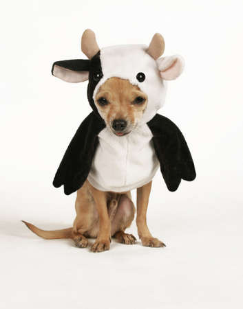 a tiny chihuahua dresssed up in a cow costume Stock Photo
