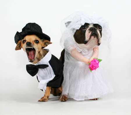 two dogs in wedding attire looking upset 스톡 콘텐츠