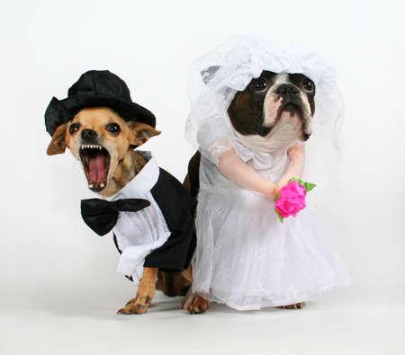perro chihuahua: dos perros en el atuendo de boda busca alterar