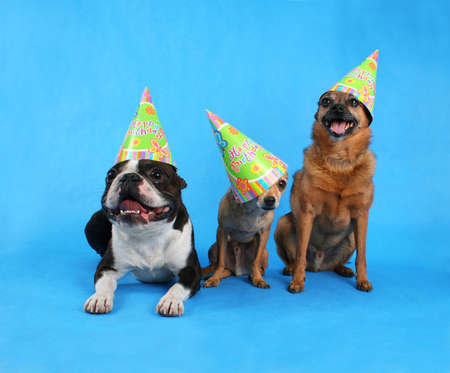 three dogs at a birthday celebration with hats on photo