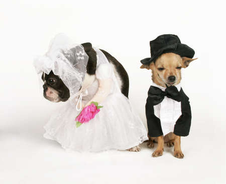 wedding veil: two dogs in wedding attire getting married
