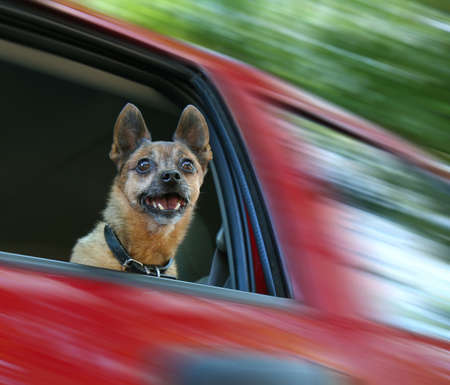small chihuahua mix in a red vehicle photo