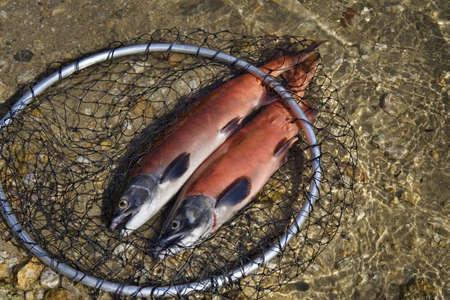 낚시 그물에 두 연어 물고기