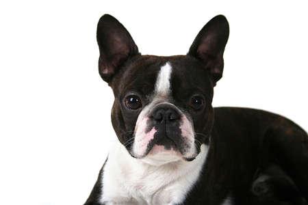 boston terrier: a boston terrier on a white background