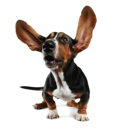 a basset hound with long flapping ears Imagens