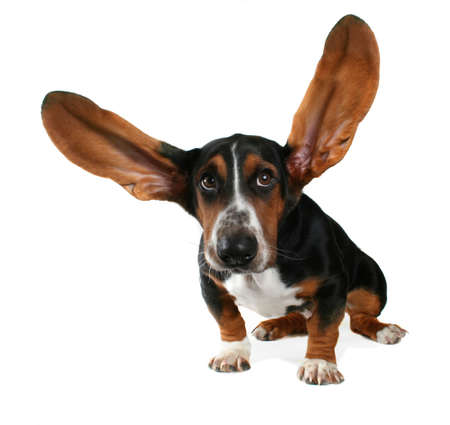 ears: a basset hound with long flying ears Stock Photo