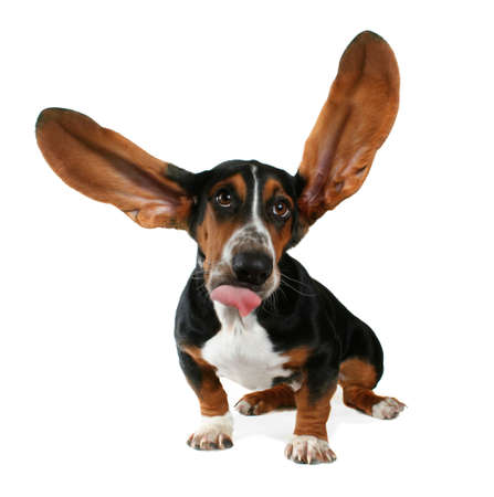 a basset hound with long flapping ears photo