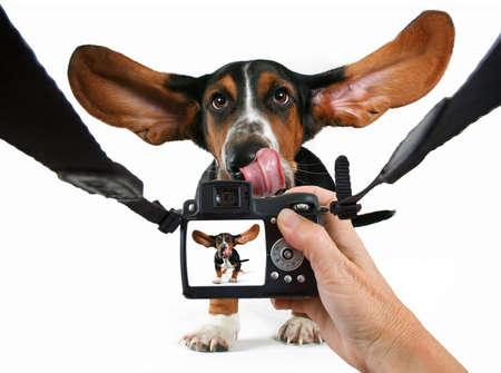 a  basset hound getting his photo taken
