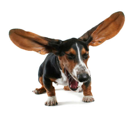 a  basset hound yawning with big ears photo